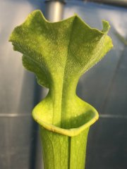 Sarracenia x moorei, Antho free (AF leuco L46A x suspicion) (Adrian Fawcett)