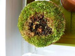 Growing Sundew