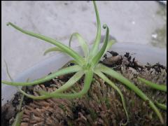 Drosera Regia Seedlings.