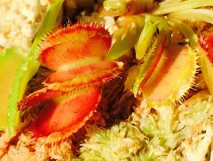 Dionaea Freaky Star