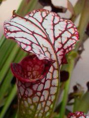 S. leucophylla Big pink Lip