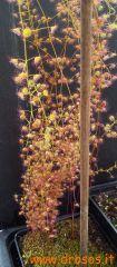 Drosera macrantha ssp macrantha