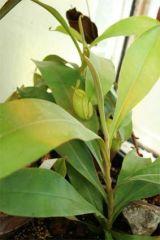 N.Ampullaria0.1.jpg