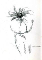 Sphagnum recurvum complex  Sketch