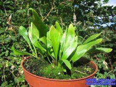 Utricularia alpina