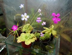Pinguicula flowers