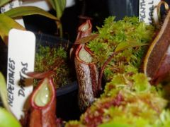 Young Nepenthes macfarlanei