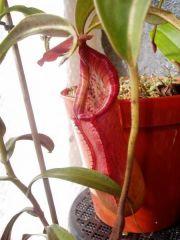 Nepenthes petiolata