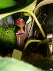 Nepenthes lowii & ramispina