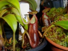 Young Nepenthes diatas