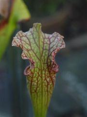 leuco x oreophylla