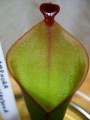 Heliamphora heterodoxa x ionasii offshoot