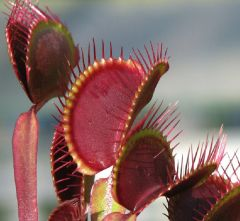 VFT-14 Royal Red