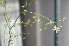 D. gigantea flower