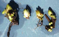 P grandiflora hibernacles2