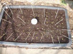 P grandiflora minibog new2013