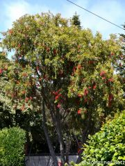 Callistemon rigidus Myrtaceae