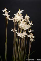 Thelymitra `Yellow Fingers´