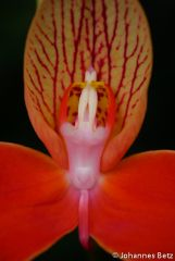 Disa uniflora `Orange Flower´