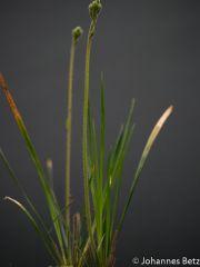 Stylidium caricifolium 4