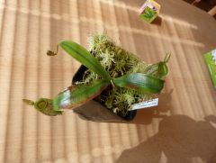 N. ampullaria for sale