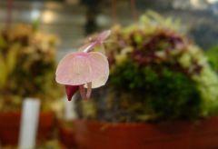 Utricularia campbelliana