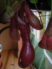 Unidentified nepenthes