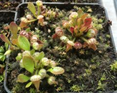 Cephalotus small