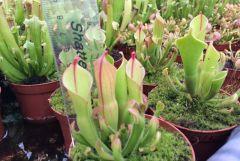 heliamphora heterodoxa x minor 2