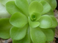 Pinguicula 'tina' winter rosette closeup