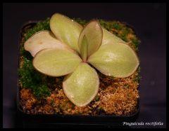P. rectifolia