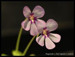 P. 'Tina' flower