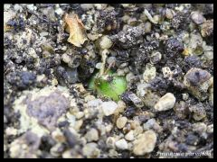 P. parvifolia winterrosette