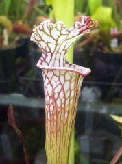 S Leucophylla Ex Slack