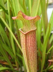S Rubra Albamensis Red Pubescent