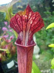S X Alata X Leucophylla Texas Form