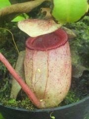 sibuyanensis