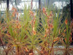 R. gorgonias