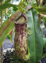 nepenthes hybrid