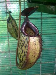 N. spectabilis X aristolocioides