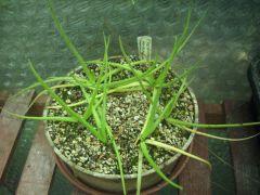 P. heterophylla
