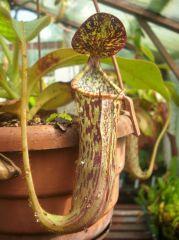 N. stenophylla