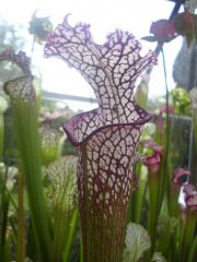 S. leucophylla