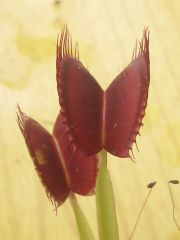Dionaea with Eight Trigger Hairs