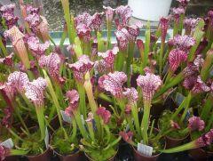 Leucophylla Hybrids