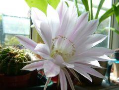 cactus flower1