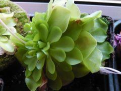 P. moranensis rosettes