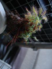 Drosera scorpioides