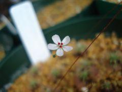 Flowering of D. x badgingarra (D. allantstigma x omissa)