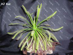 """Drosera capensis """"Alba"""""""